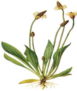 how to kill plantain weed