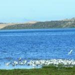 Elegant Tern Flies Home